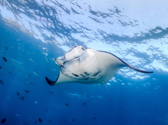Manta Rays in Nusa Lembongan Gap Year