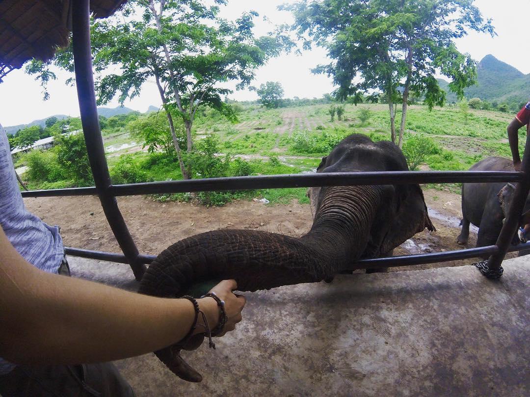 Feeding elephants in thailand on a gap year