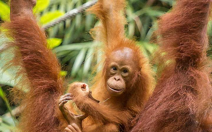 Sumatra Orang-Utan Schutzprogramm - Gap Year Program